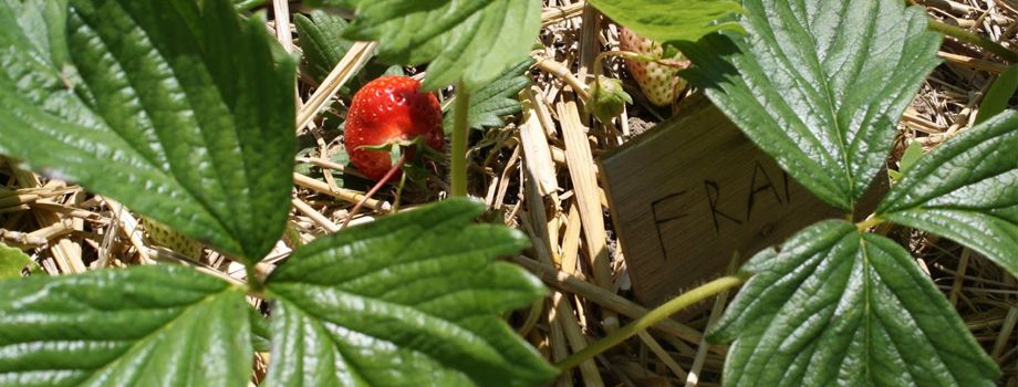 jardin-fraises